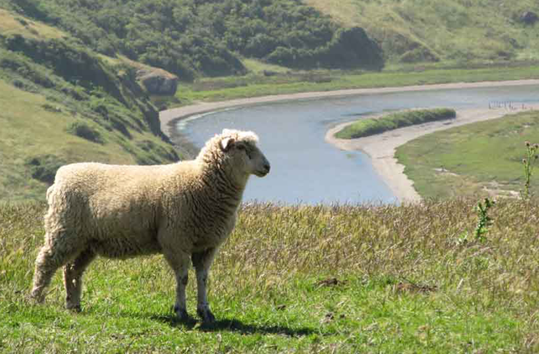 Pozzi Ranch lamb near river
